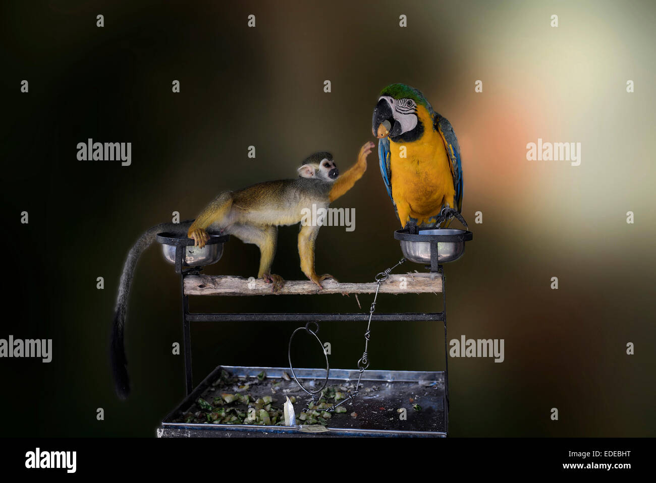 Mischievous monkey stealing food from a startled Macaw. Funny animals. A set of three sequences - Stock Image