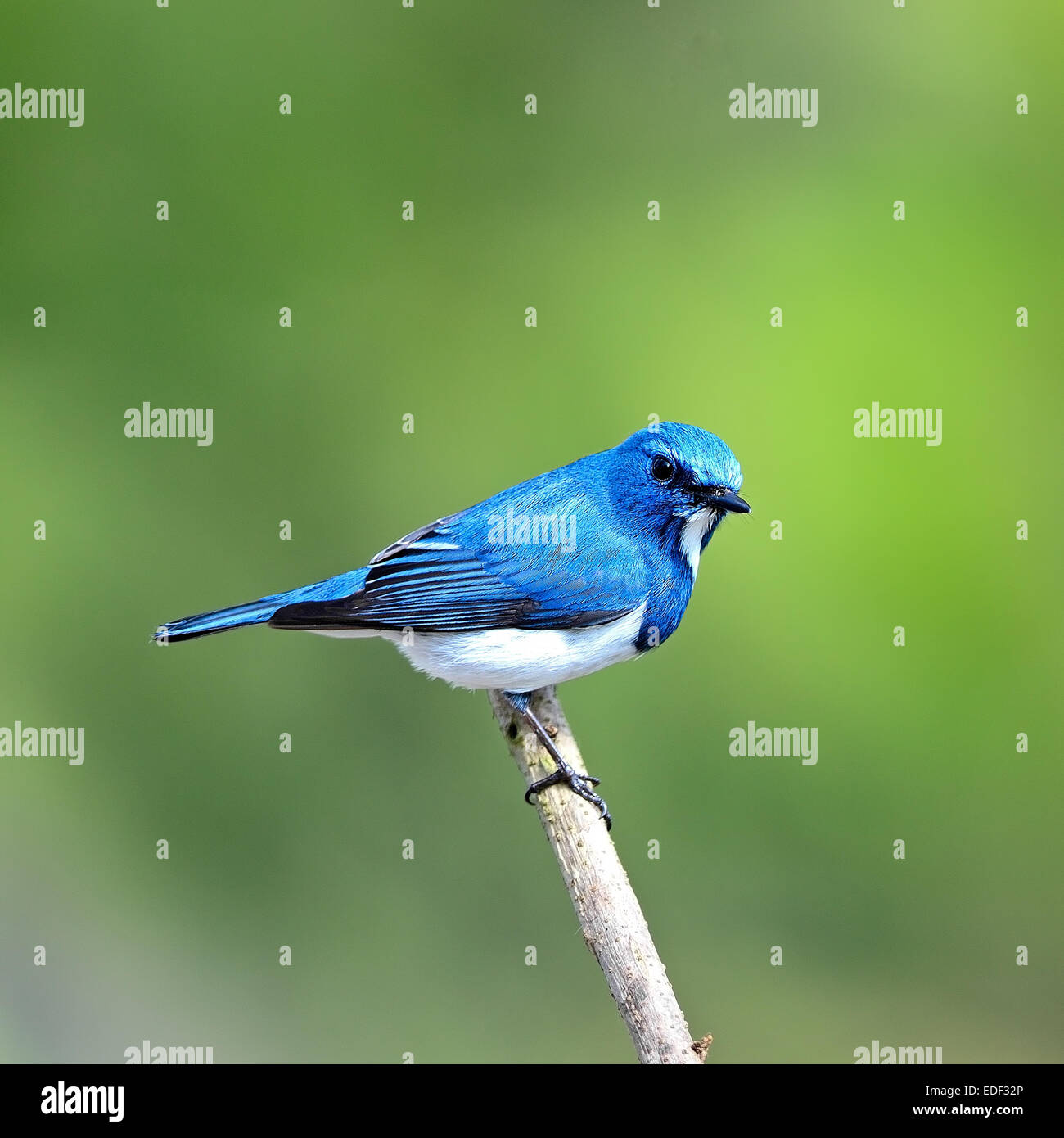Colorful blue and white bird, male Ultramarine Flycatcher (Ficedula superciliaris) , perching on a branch, back - Stock Image