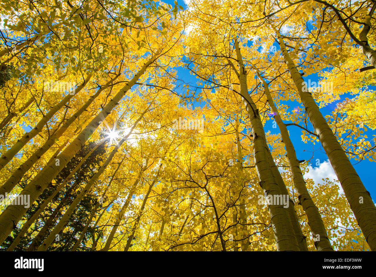 Looking up into bright yellow Aspen trees with blue sky on a fall day in Colorado - Stock Image
