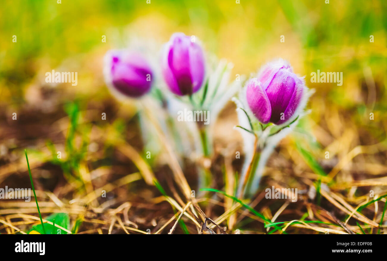 Wild Spring Flowers Pulsatilla Patens Flowering Plant In Family