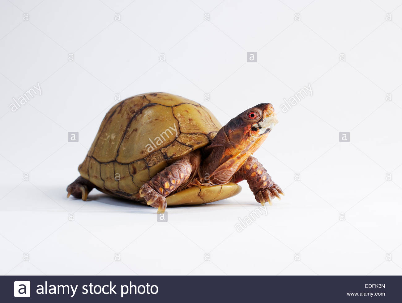 A box turtle (Terrapene) photographed in the studio. - Stock Image