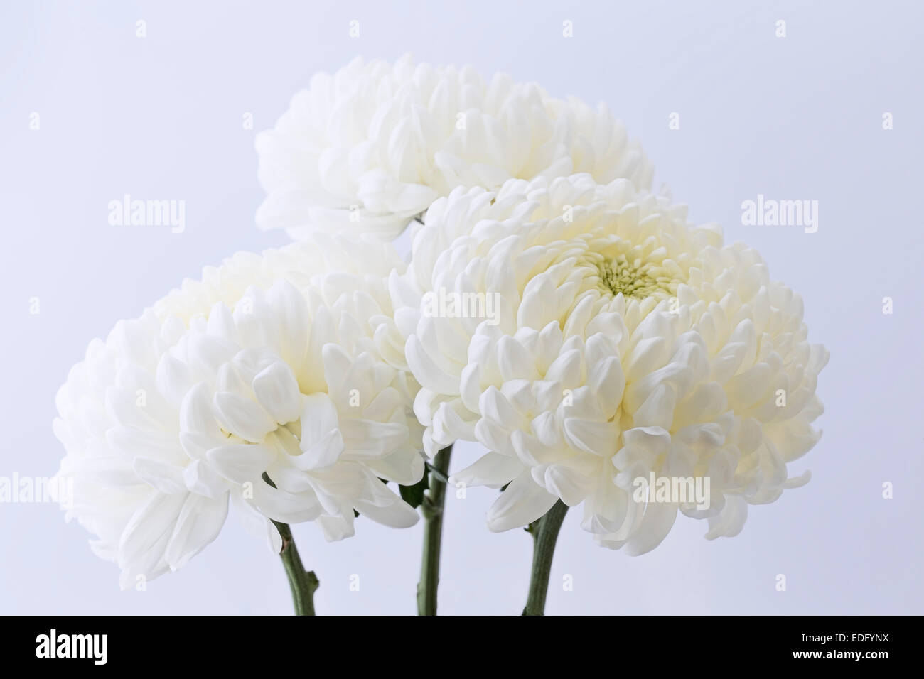 White mums stock photos white mums stock images alamy 3 white mums side lit against slightly blue background stock image mightylinksfo