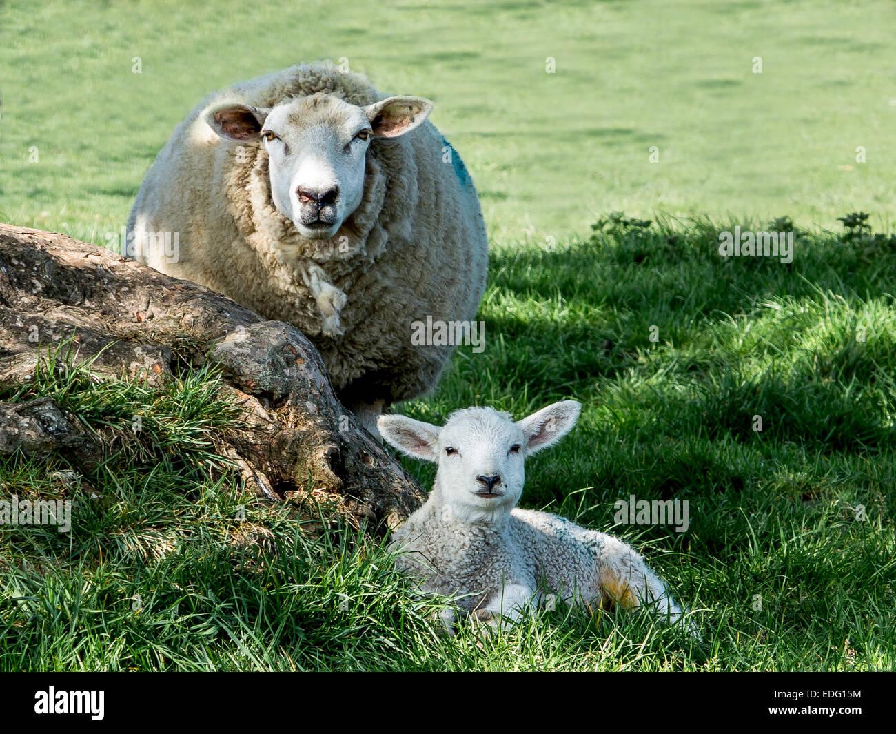 Yew and lamb - Stock Image