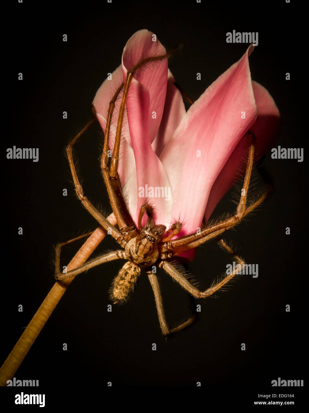 Spider on flower - Stock Image