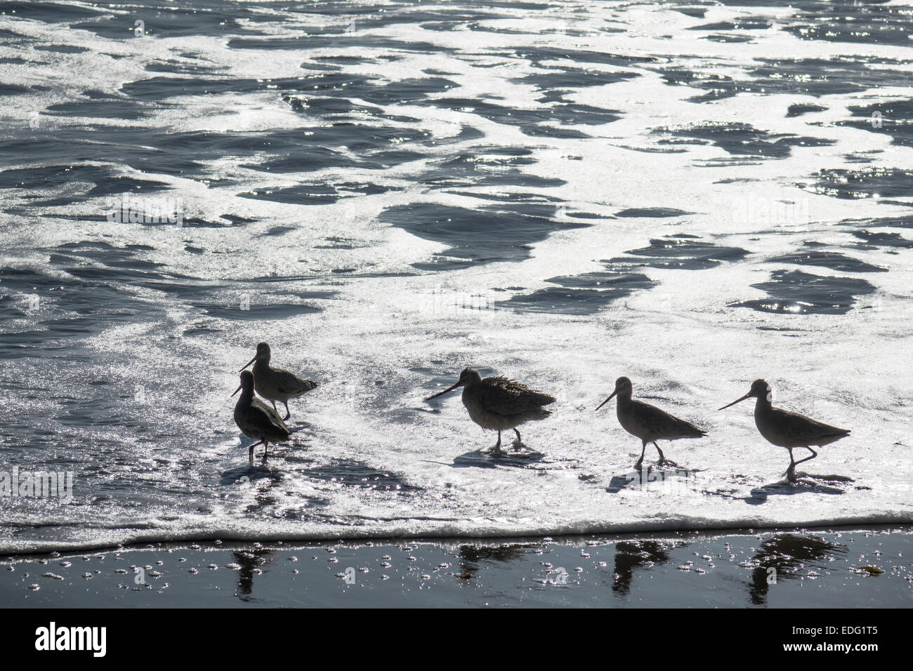 Sandpipers at Hope Ranch Beach - Stock Image