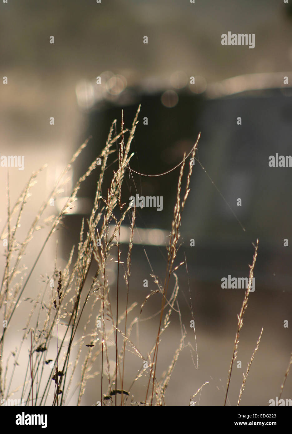 The early morning light catches the dew on the cobwebs strung between grasses along side the Caldon Canal in Staffordshire. - Stock Image