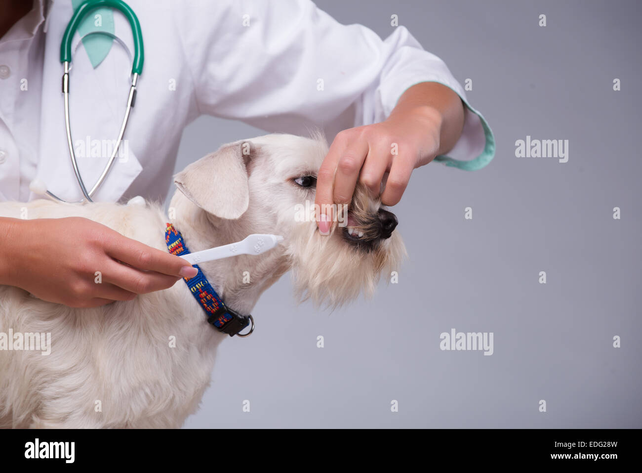 Female veterinarian examines little dog teeth - Stock Image