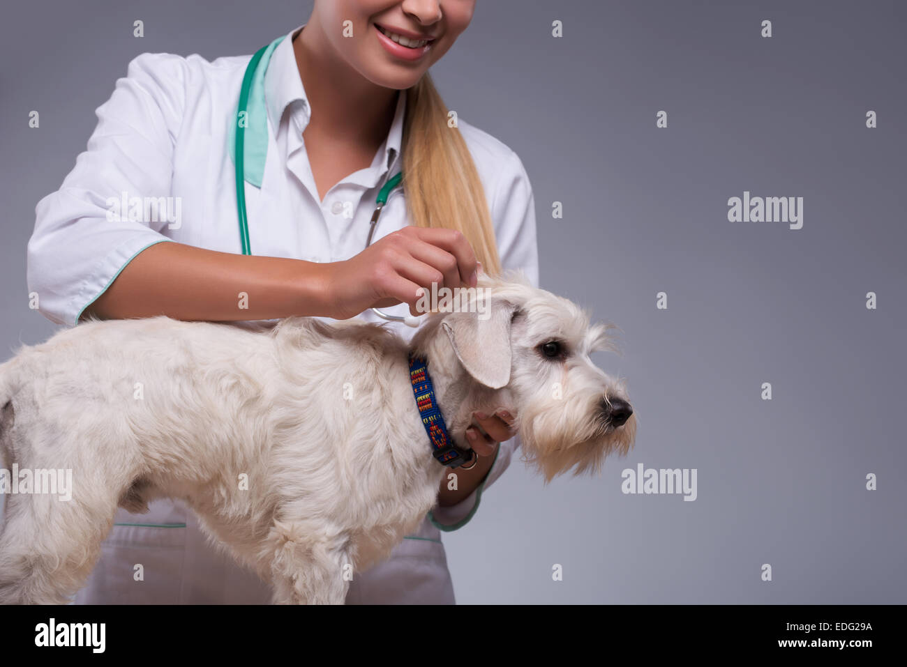 Female veterinarian examines little dog - Stock Image