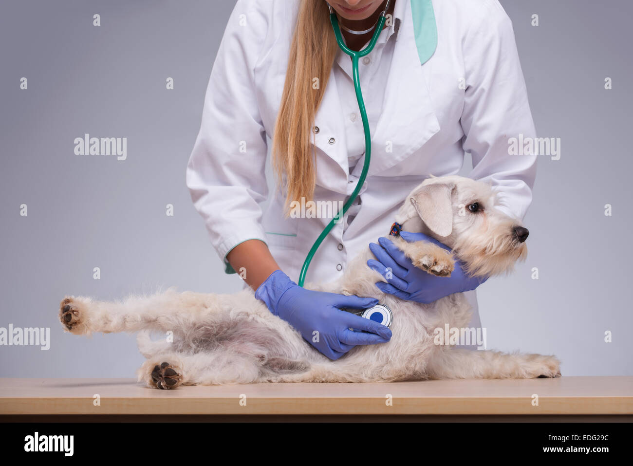 Female veterinarian examines little dog with stethoscope - Stock Image