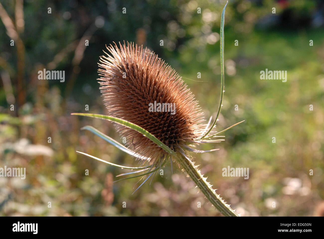 Teasel seedhead - Stock Image
