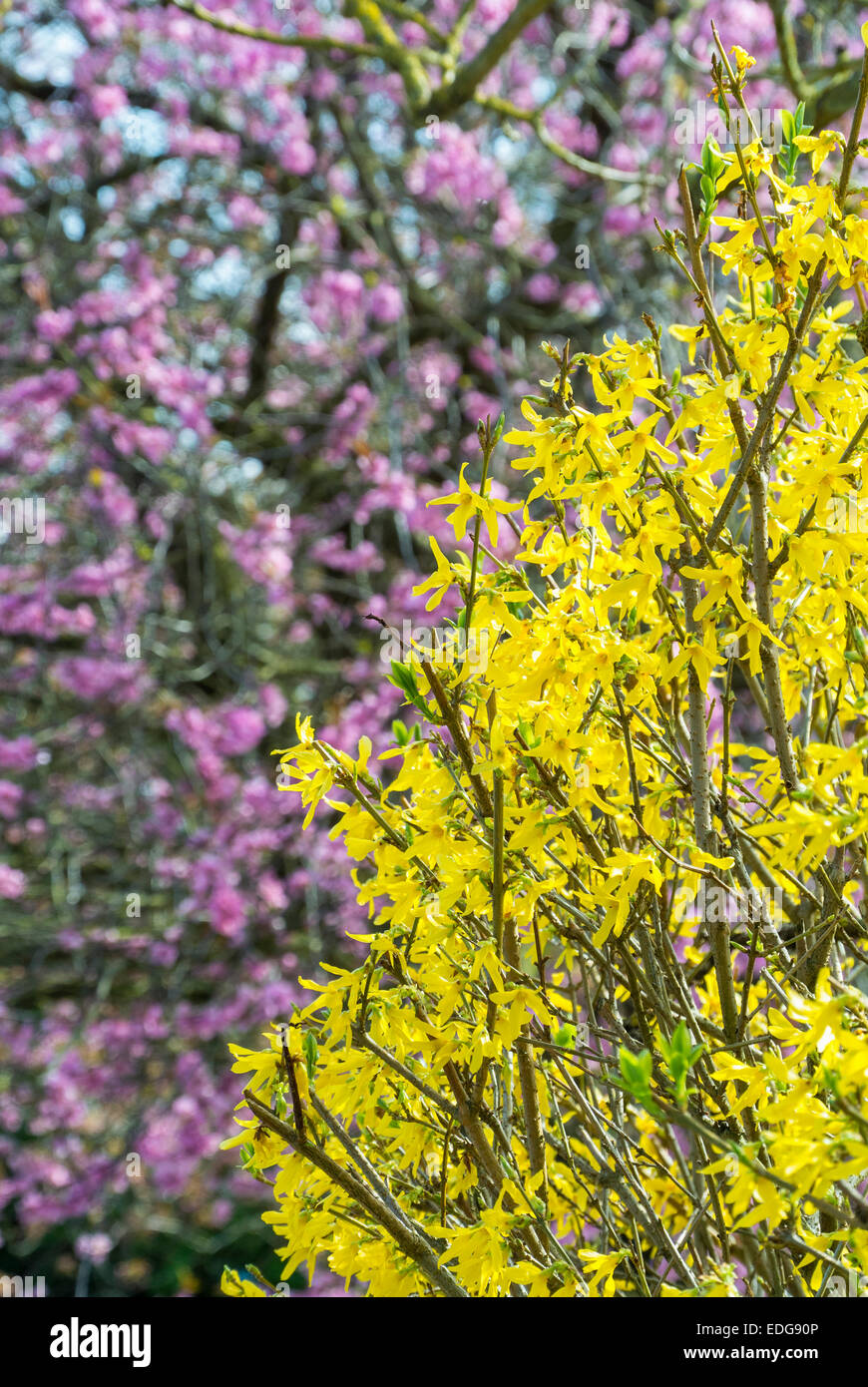 Yellow Forsythia And Pink Flowering Cherry Blossom Stock Photo