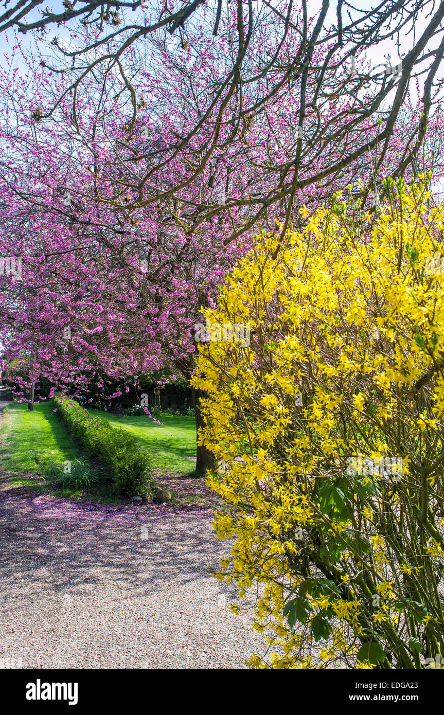 Yellow Forsythia And Pink Flowering Cherry Blossom In Front Garden
