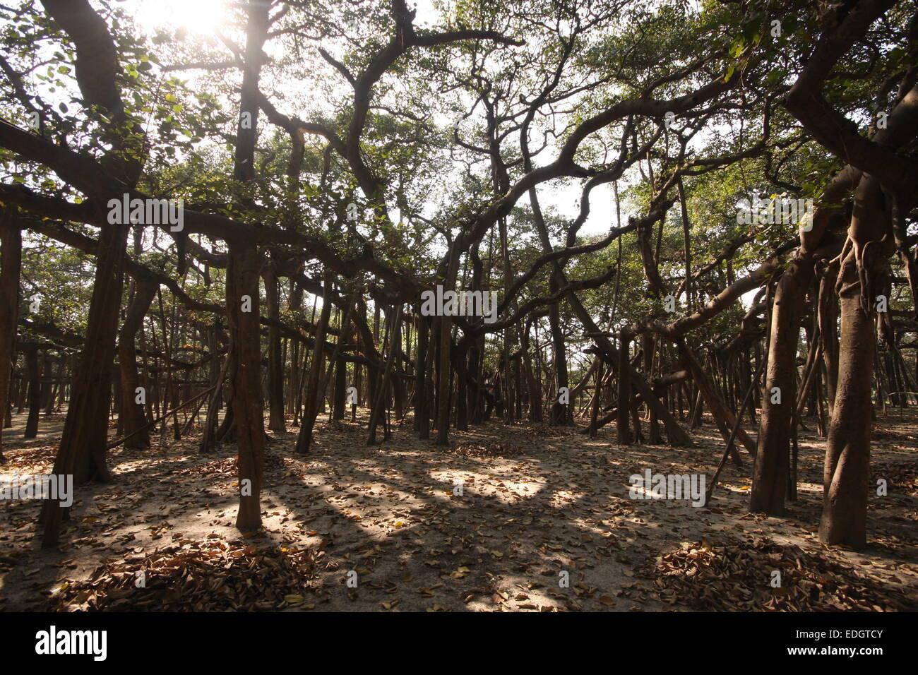 World's largest banyan tree in Calcutta Botanical Garden, India - Stock Image