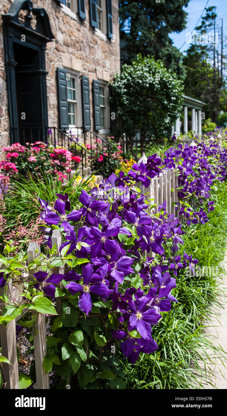 Spring Perennial Purple Clematis Vine Climbing On A Picket Fence