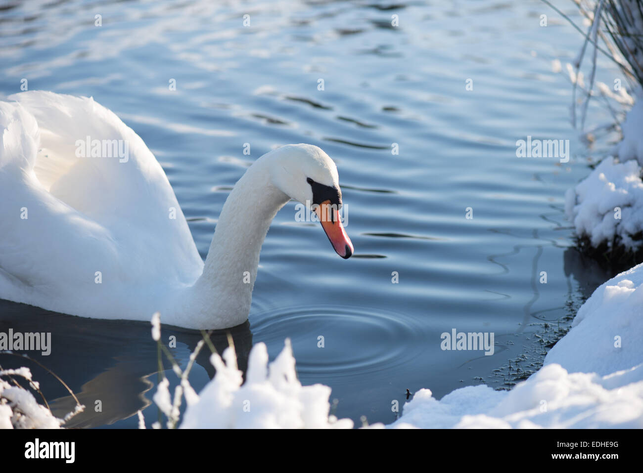 Winter white swan sitting in the water - Stock Image