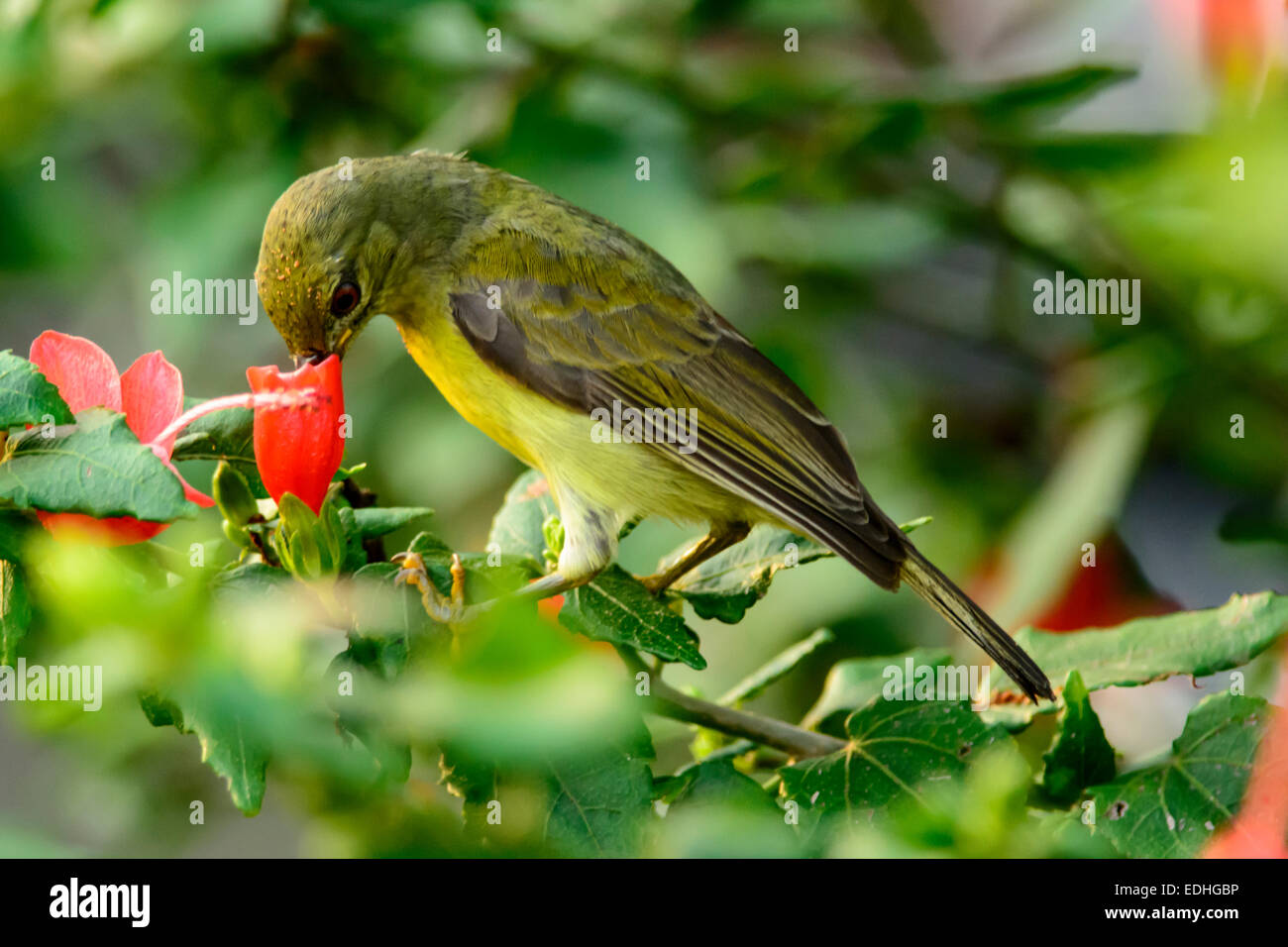 Female brown-throated sunbird feeding on nectar from a hibiscus flower. - Stock Image