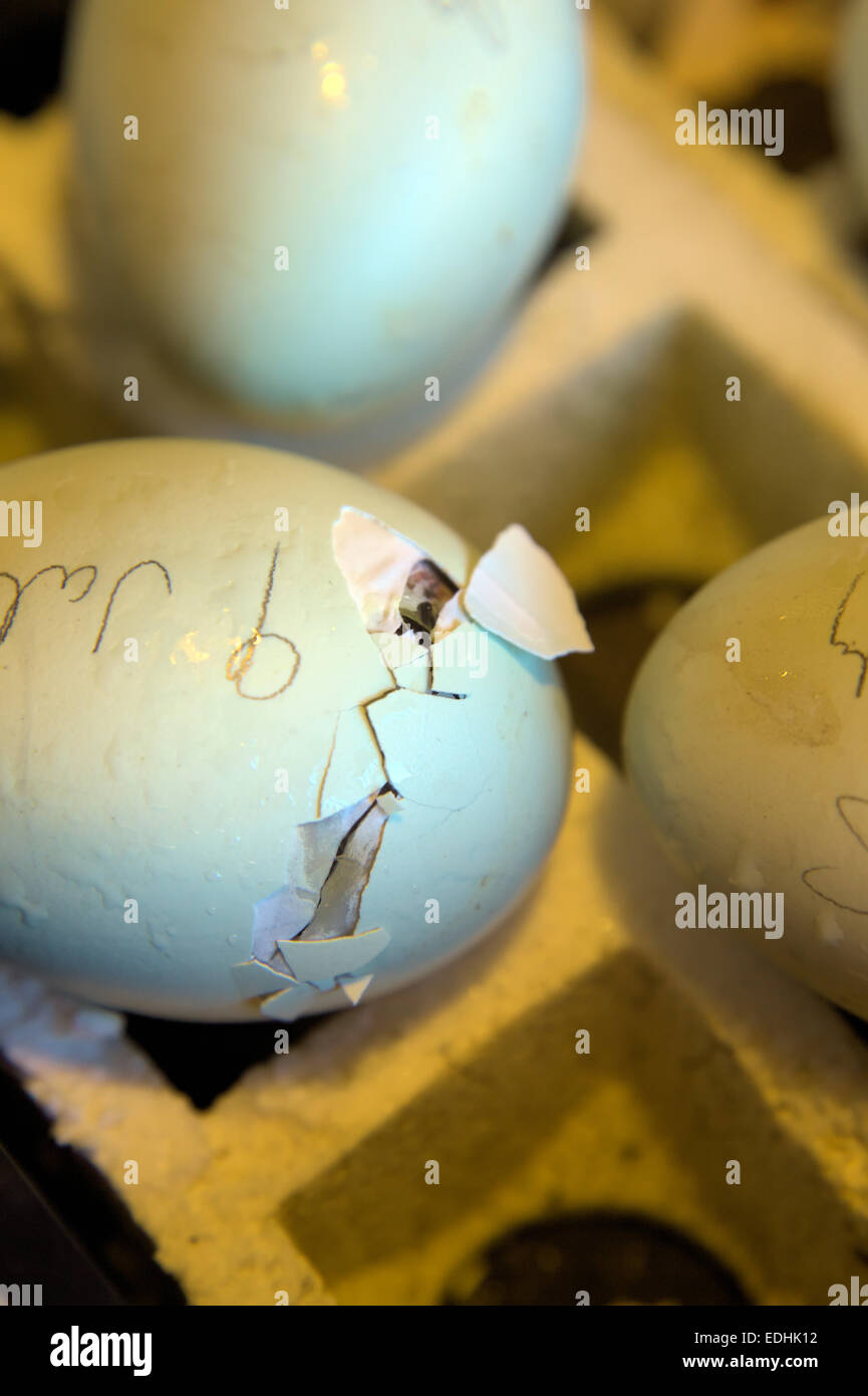 Hatching hens eggs - water droplets is to increase humidity - Stock Image