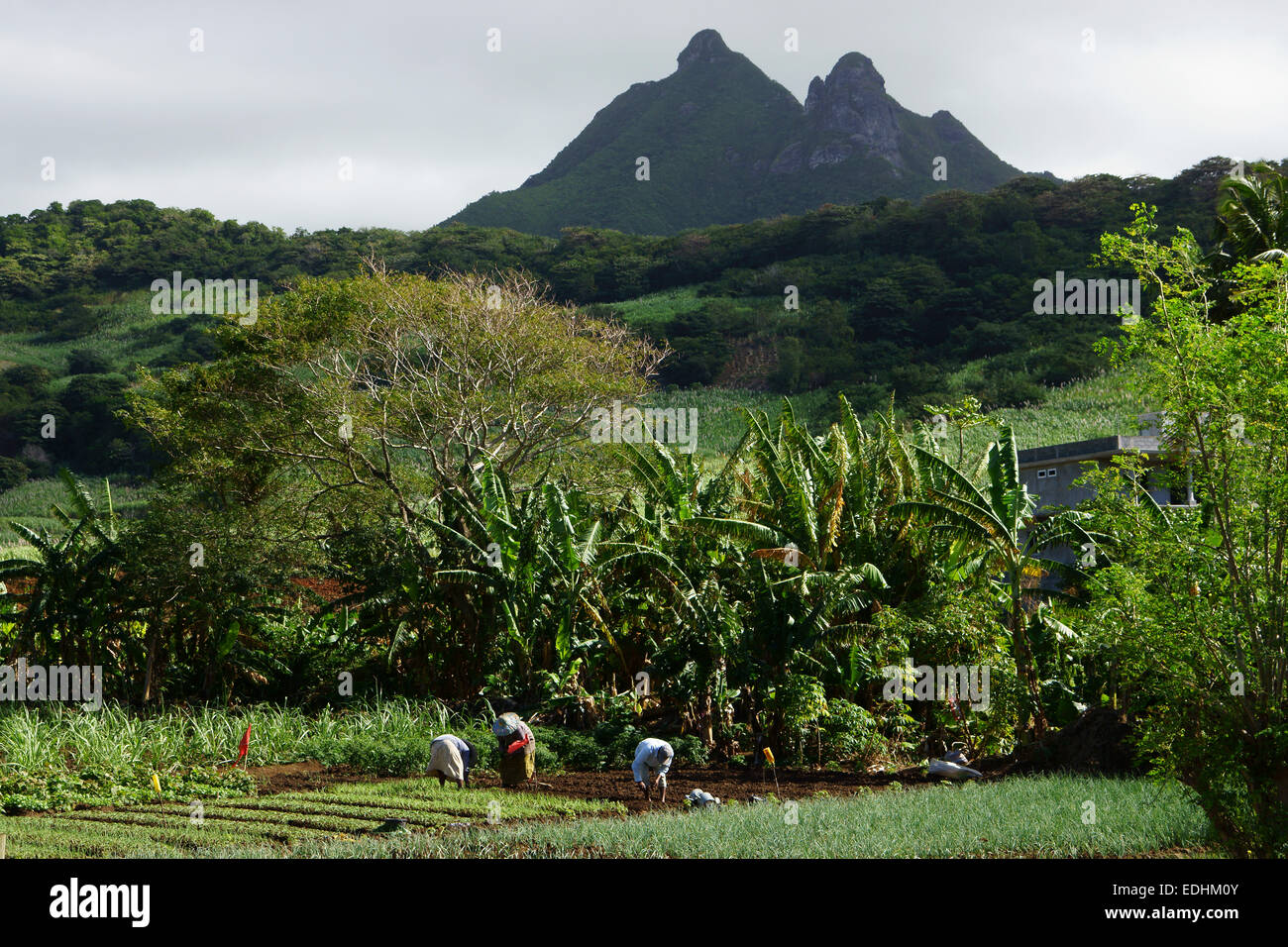 Women working in vegetable garden near Bambous Virieux, Island Mauritius - Stock Image