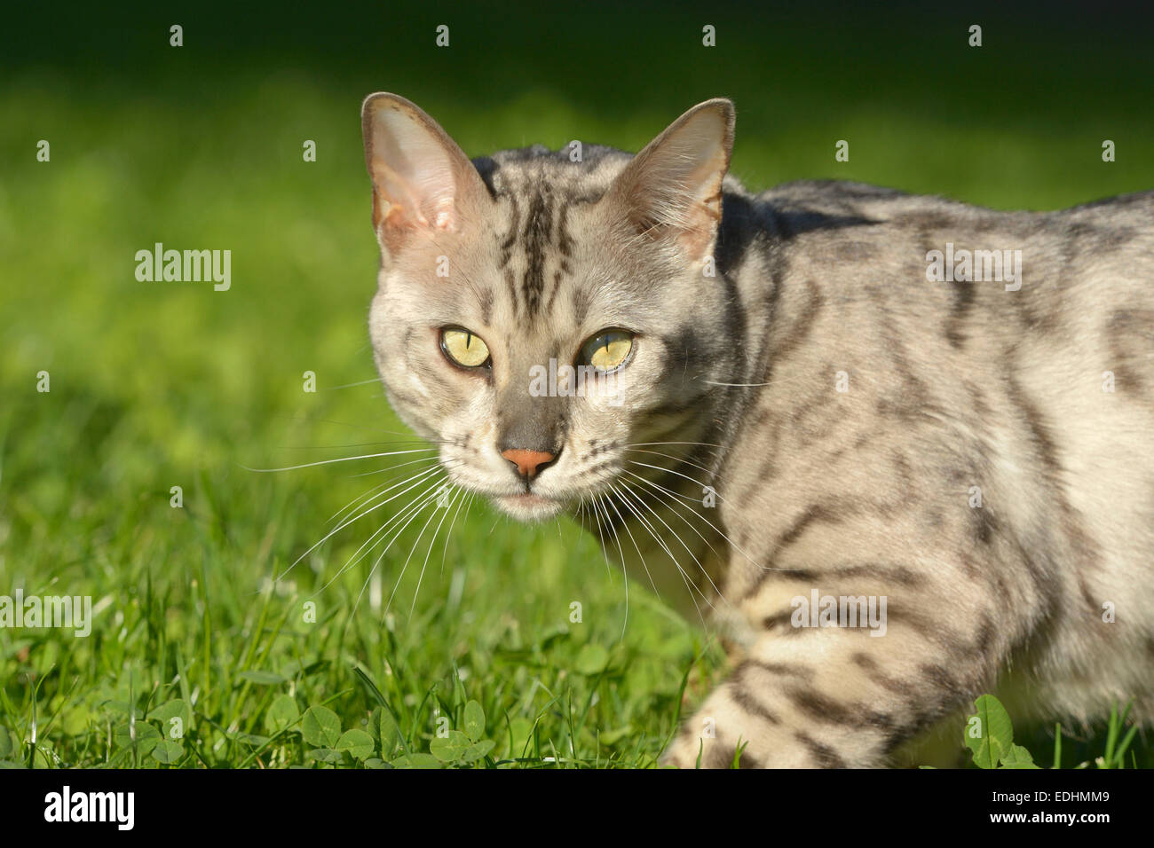 Leopard tomcat (Prionailurus bengalensis) in the garden, domestic animal - Stock Image