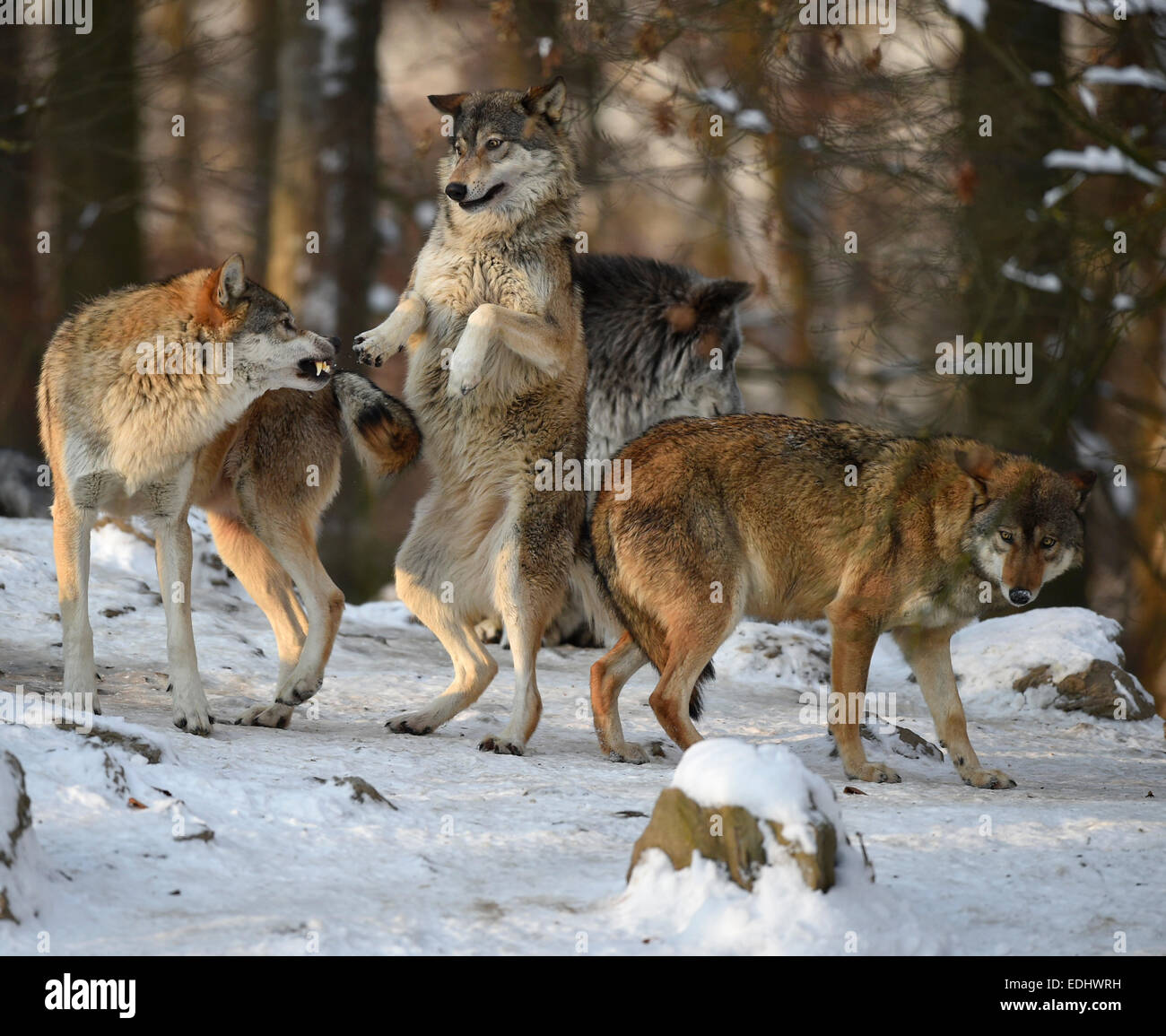 Reproof, ranking, domination, Northwestern wolf (Canis lupus occidentalis) in the snow, captive, Baden-Württemberg, - Stock Image