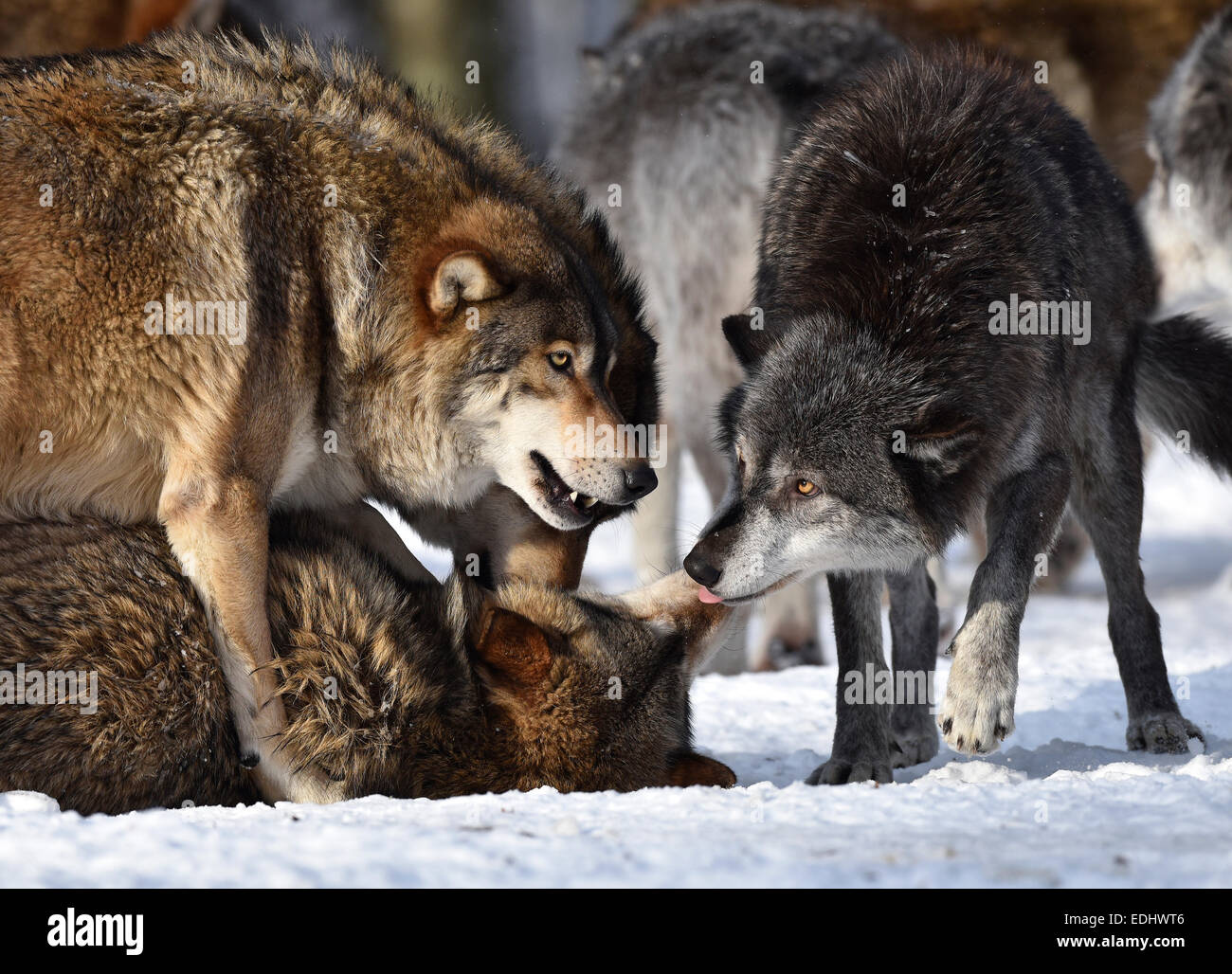 male leader of the pack alpha wolf rebuke of a young animal stock