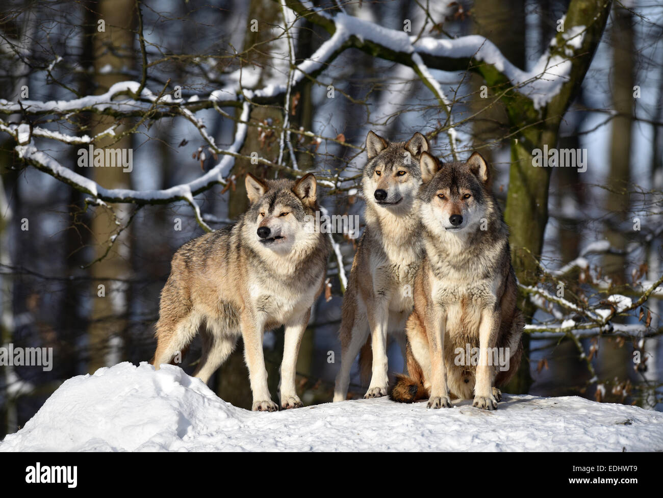 Three wolves on look out, Northwestern wolf (Canis lupus occidentalis) in the snow, captive, Baden-Württemberg, - Stock Image