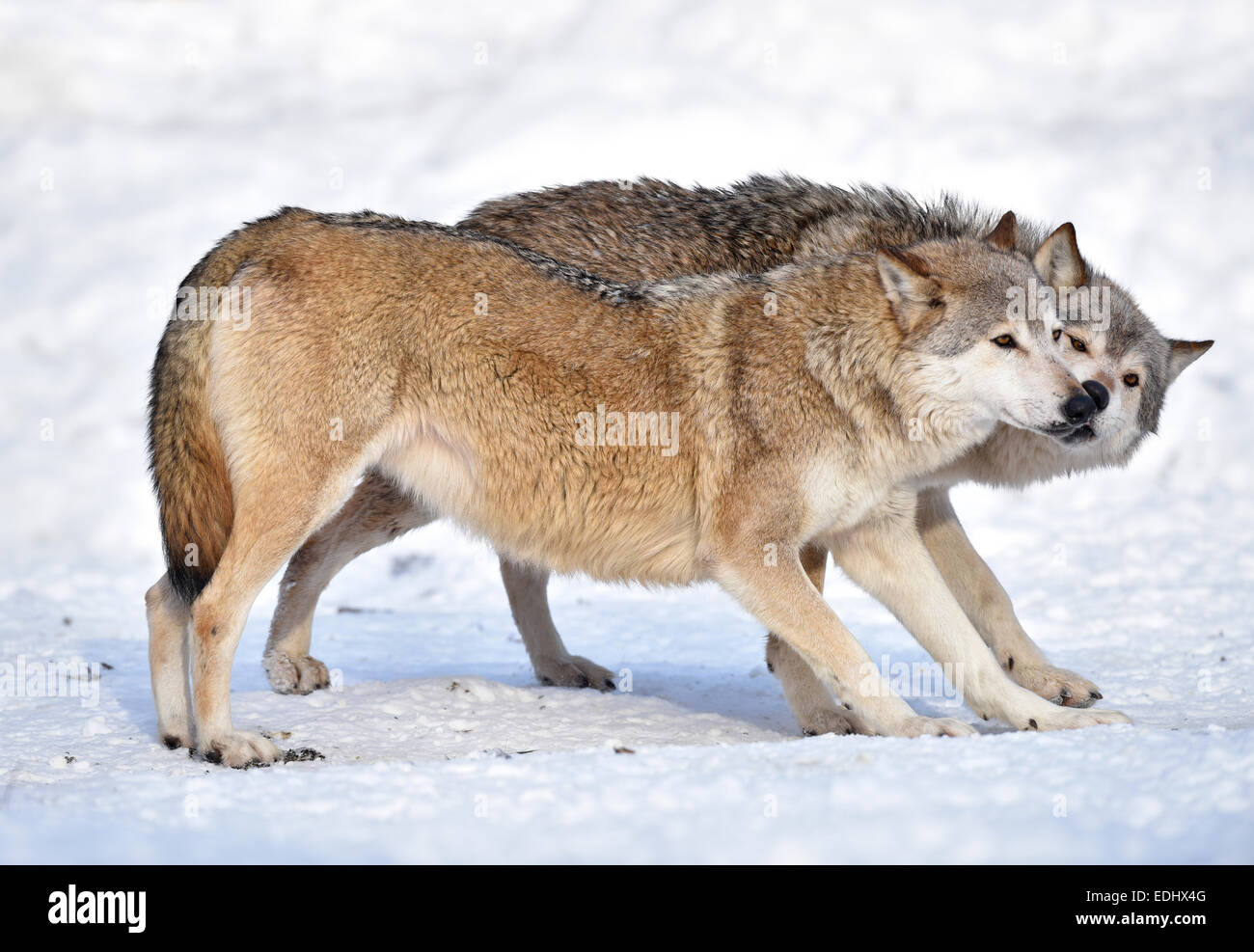 Welcome, outreach, domination, licking, Northwestern wolf (Canis lupus occidentalis) in the snow, captive, Baden - Stock Image