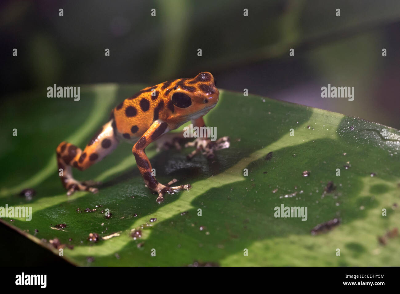 Strawberry Poison-dart frog - Stock Image