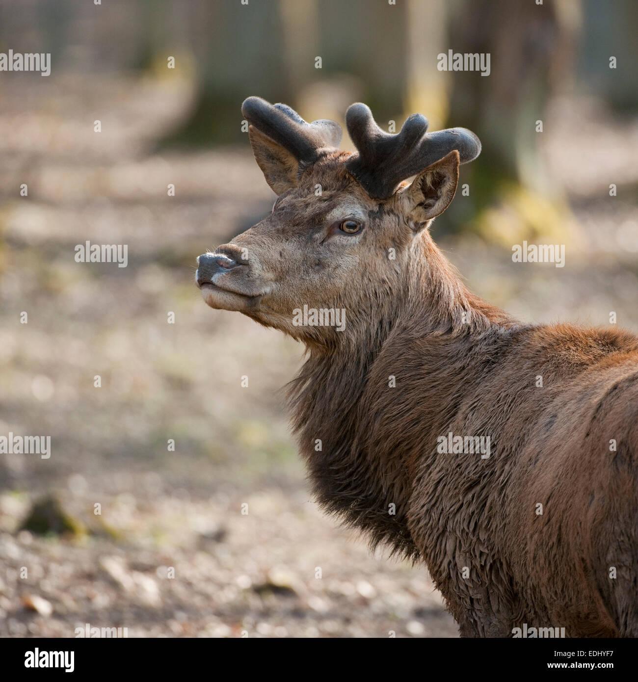 Red Deer (Cervus elaphus), stag with velvet antlers, captive, Bavaria, Germany - Stock Image