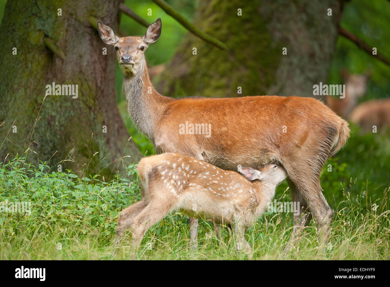 Red Deer (Cervus elaphus), hind with suckling fawn, captive, Bavaria, Germany - Stock Image