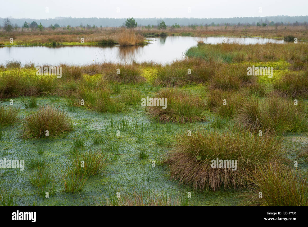 Peat Moss (Sphagnum sp.) and Soft Rush or Common Rush (Juncus effusus), Schweimker Moor Nature Reserve, Lower Saxony, - Stock Image
