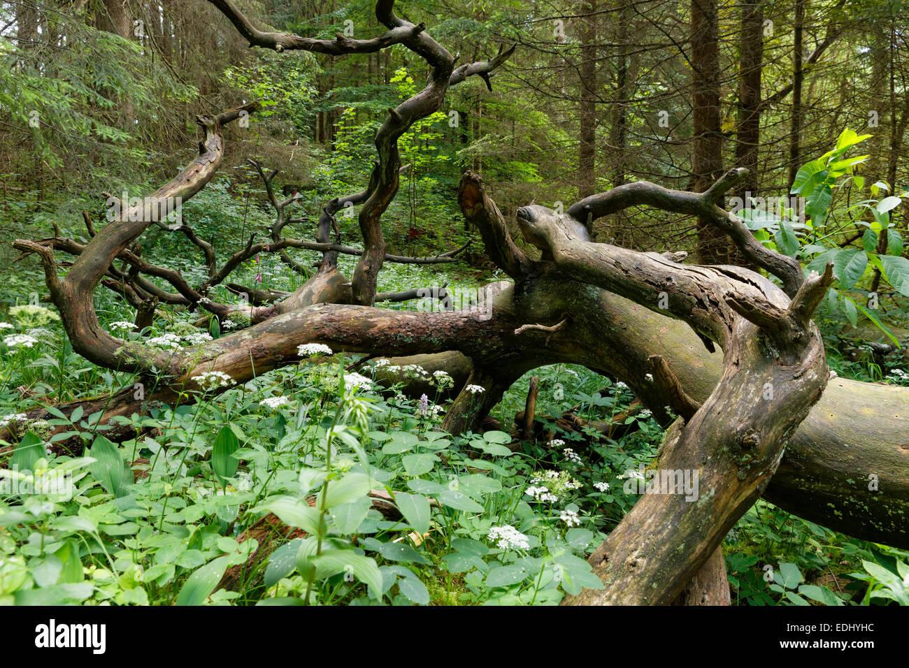 Dead wood in lowland forest, Pupplinger Au, Geretsried, Upper Bavaria, Bavaria, Germany - Stock Image