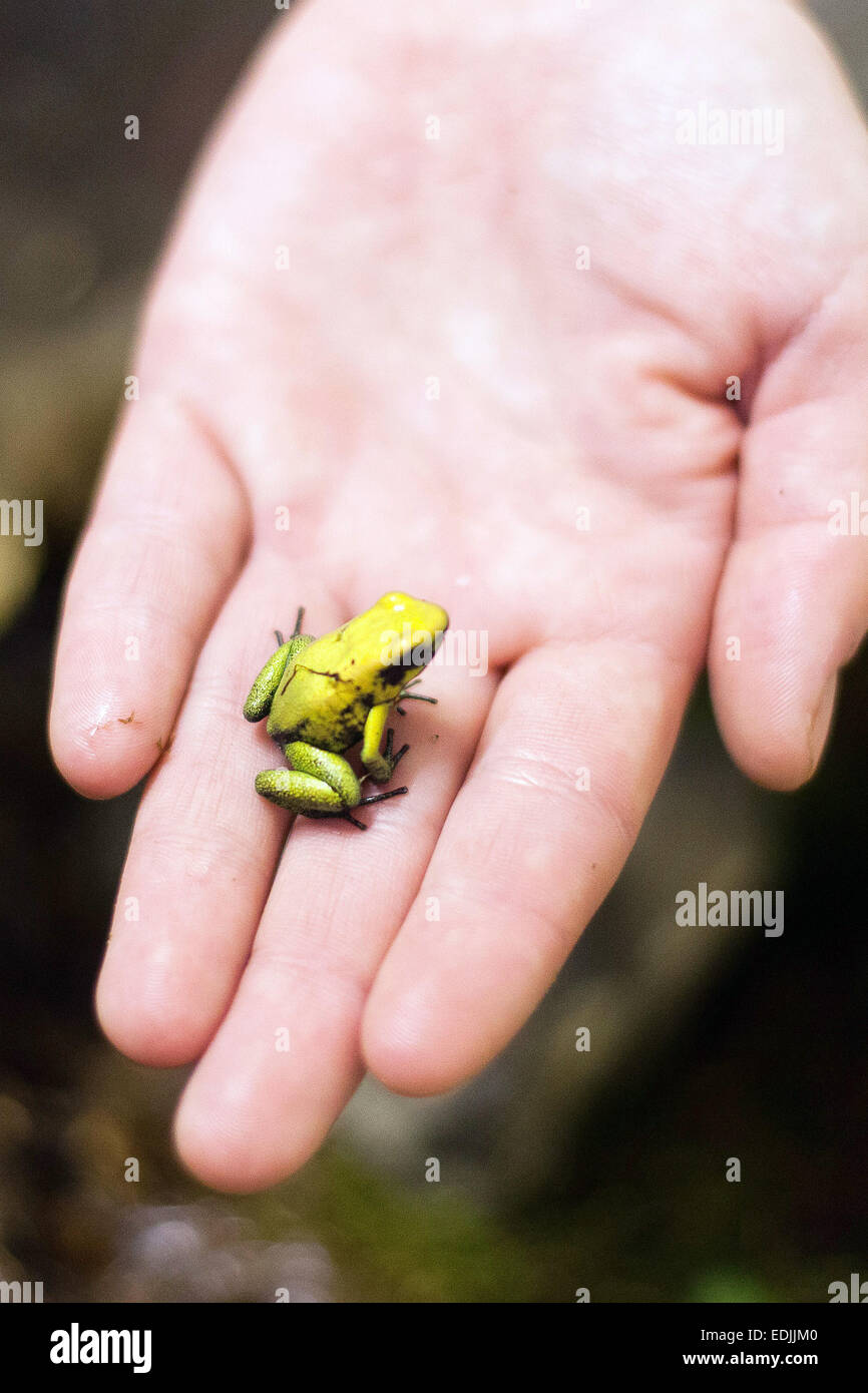first breeding of golden poison frog phyllobates terribilis in the