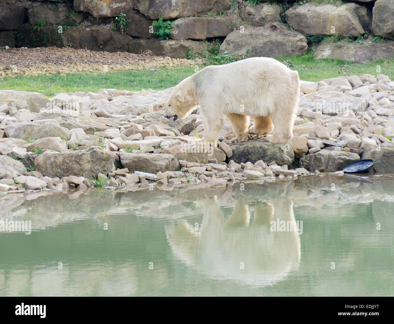 Polar bear by melted water with detritus and rubbish - Stock Image