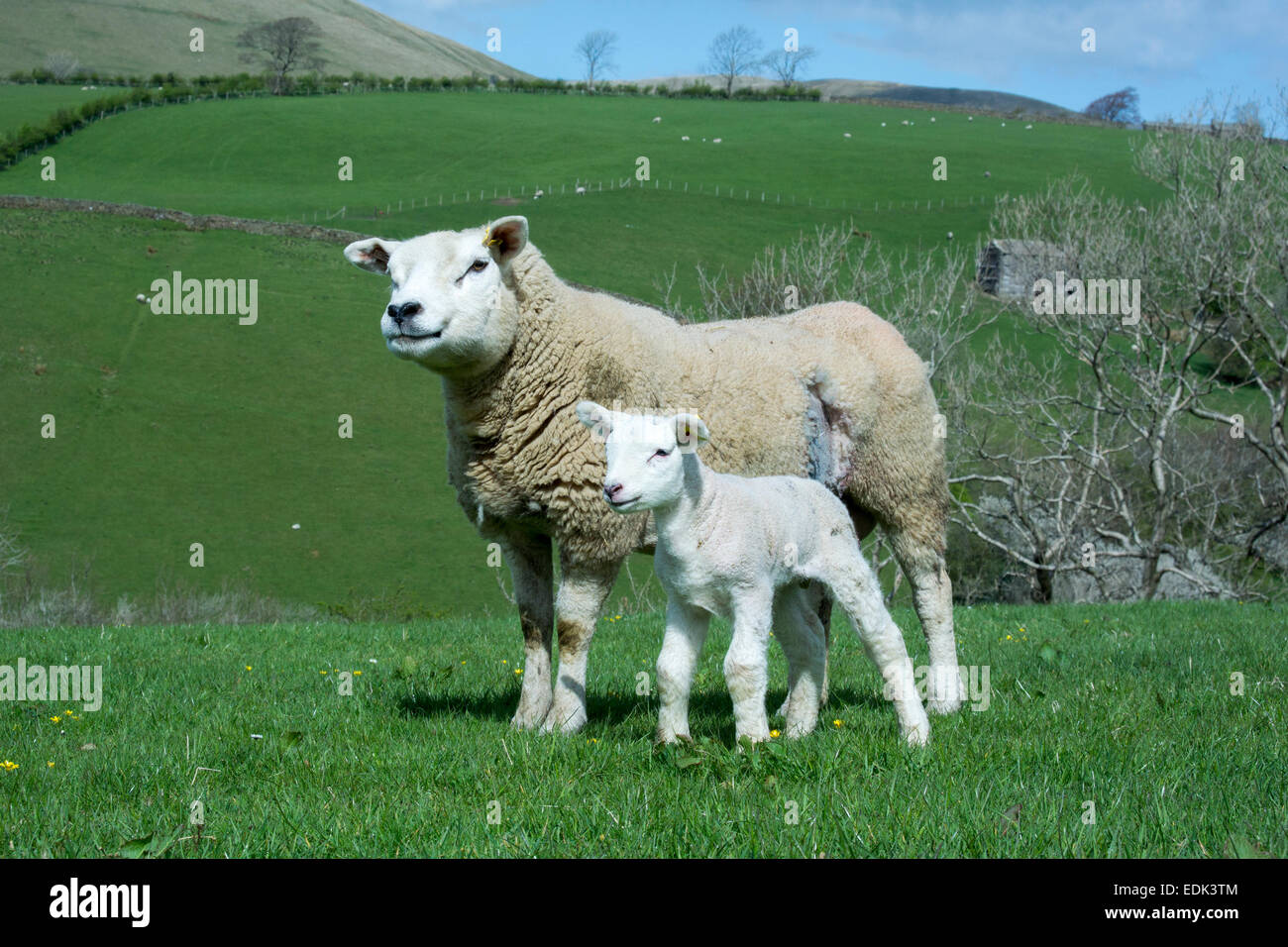 Texel ewe with lamb. The ewe has had a cesarean. Cumbria, UK - Stock Image