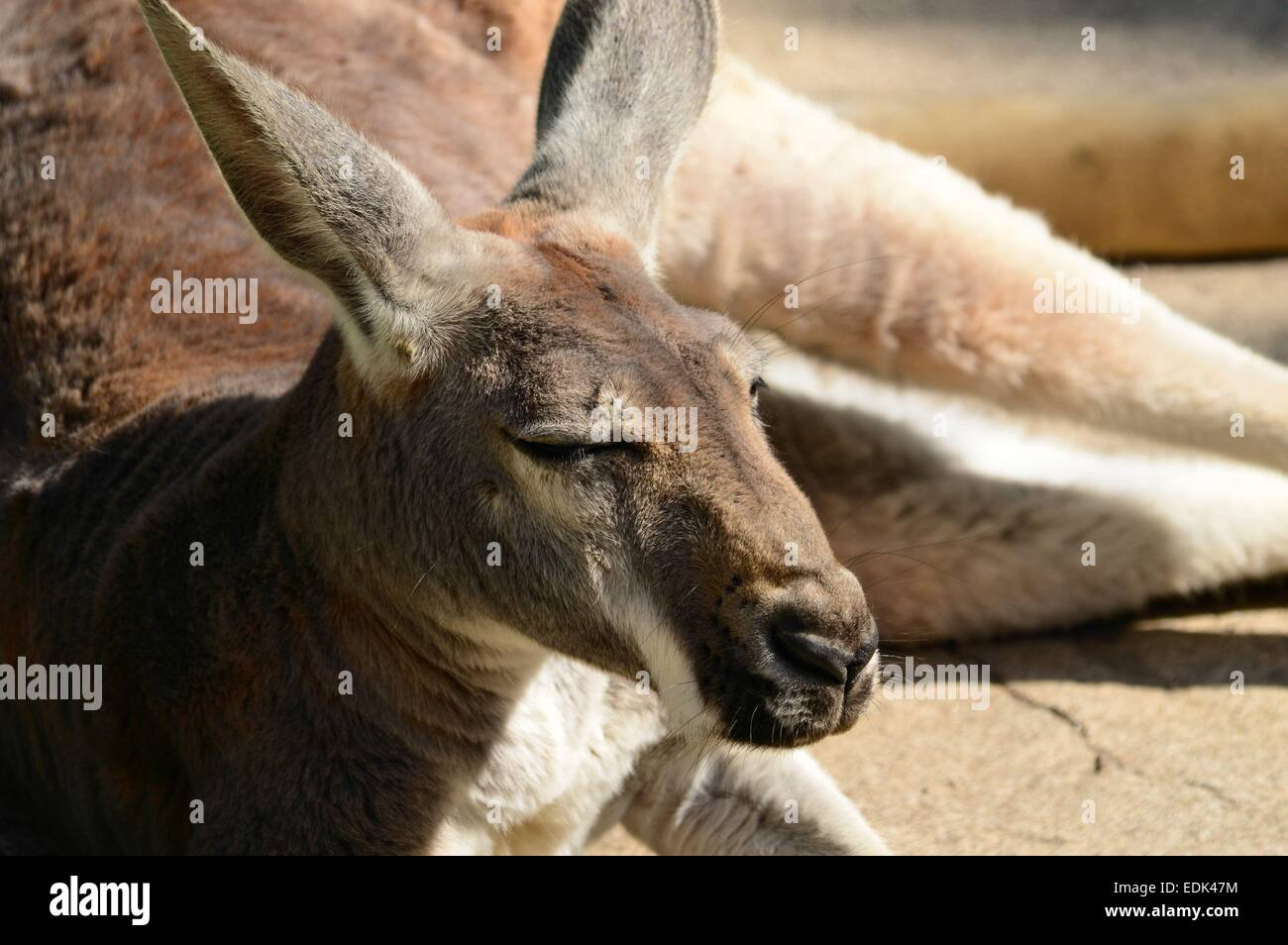 Kangaroo lounging in the sun being lazy and enjoying the day.  animal lying down in the sunshine - Stock Image
