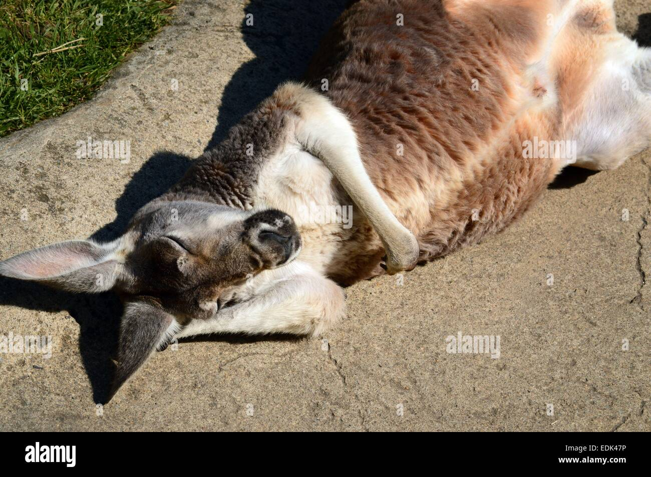 A kangaroo relaxing on her back basking in the warm sunshine lazily scratching her ears - Stock Image