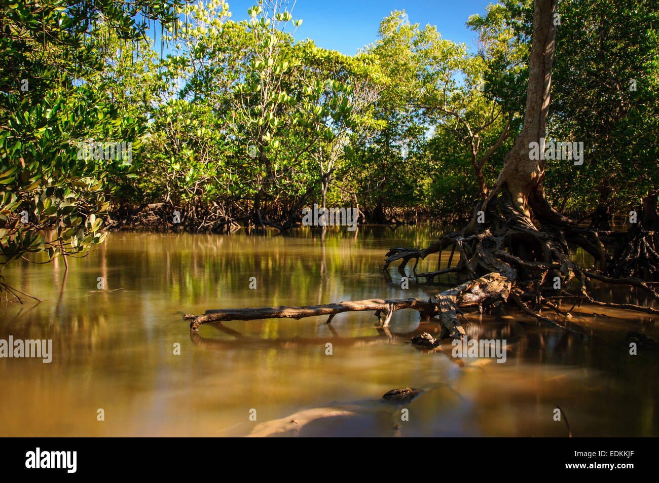 Reflection of a mangrove ecosystem on the tidal flood at sunrise Stock Photo