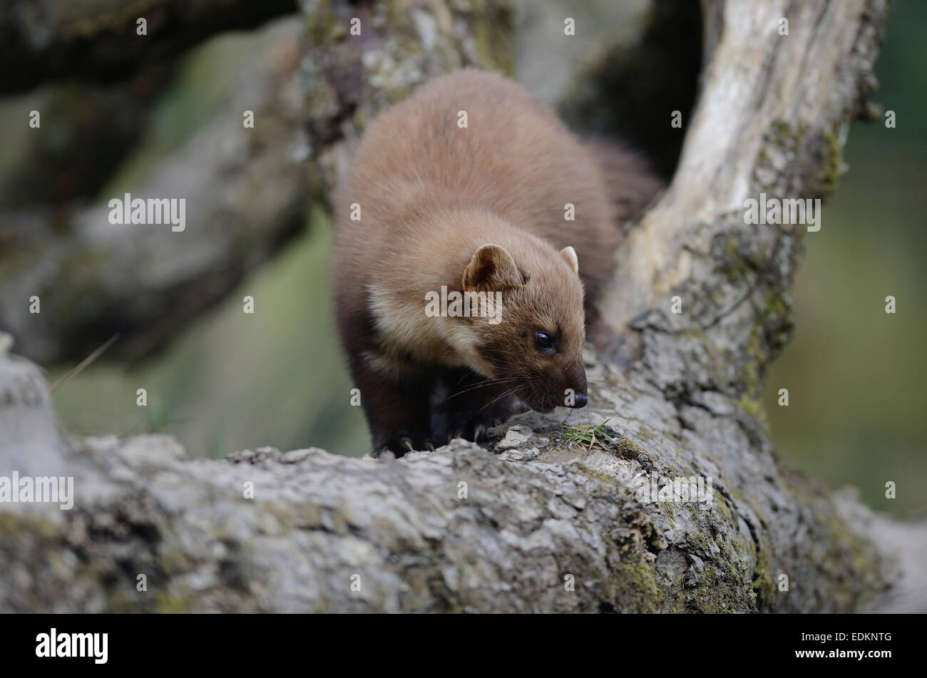 pine marten martes martes mustelid Carnivora Mustelidae hunter - Stock Image