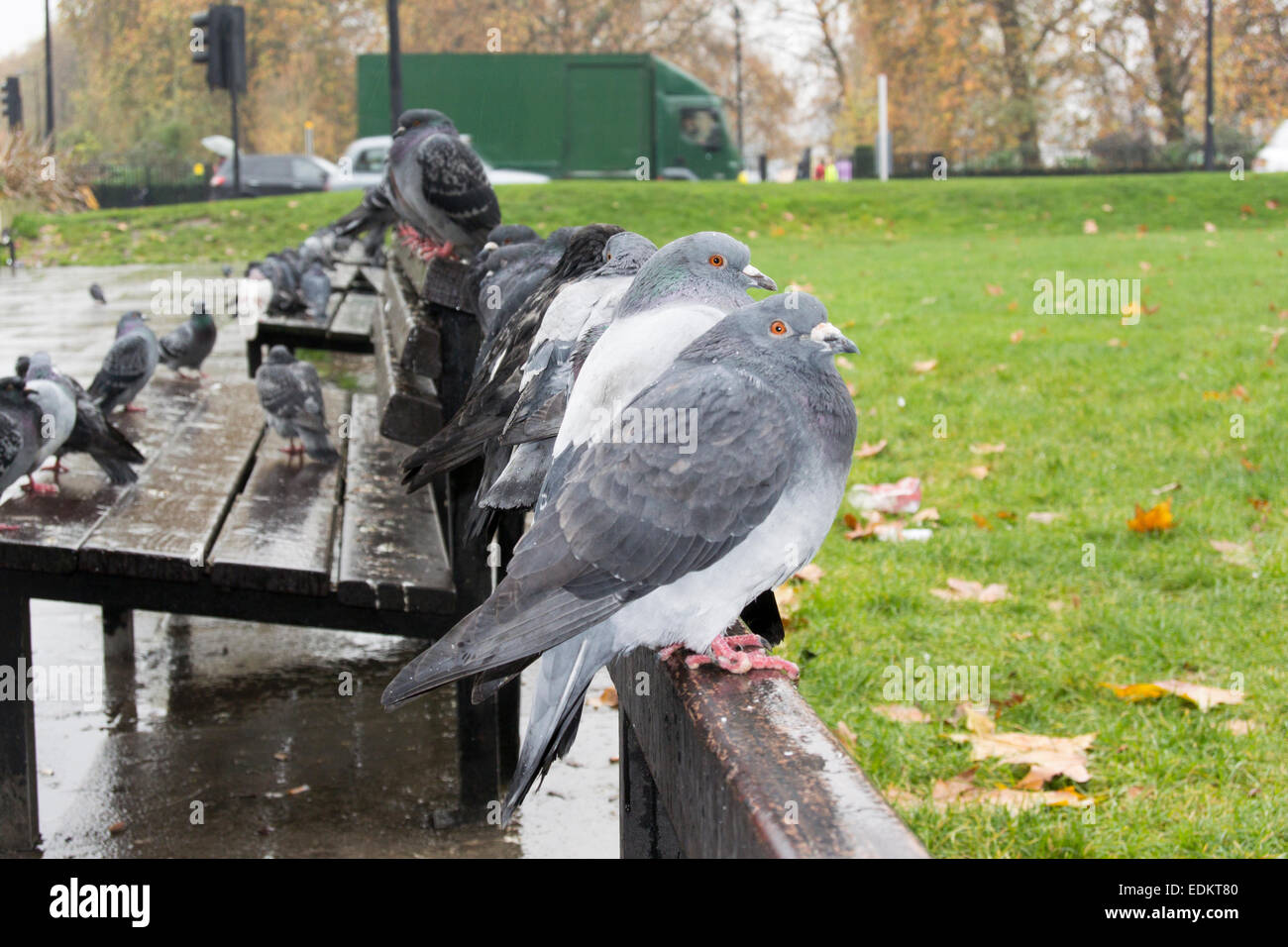 Feral pigeons sitting on park bench in London, UK - Stock Image