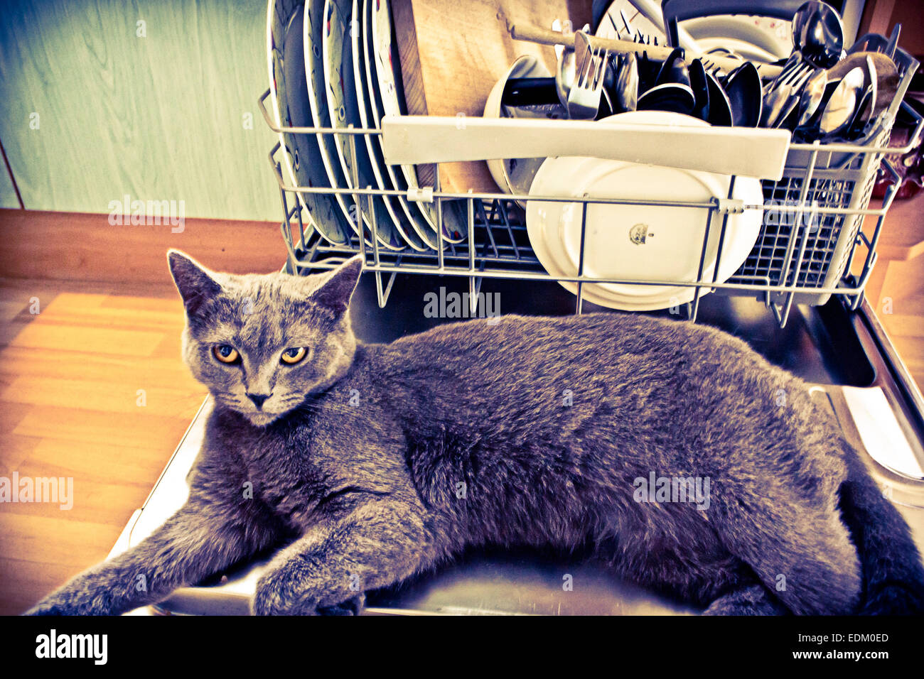 British gray cat resting on a washing machine door - Stock Image