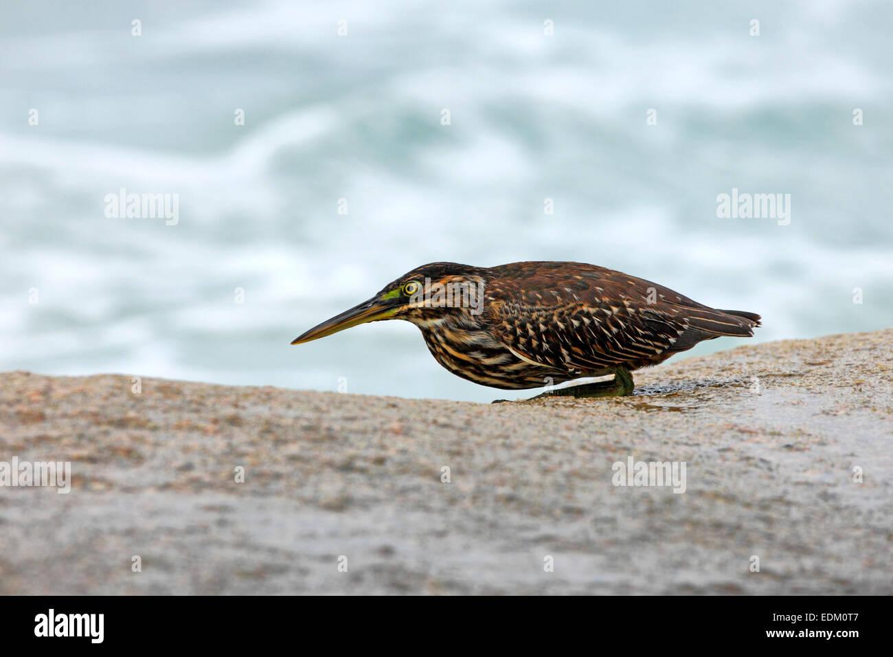 Seychelles bird, island, La Digue. Bird waiting for a fish. - Stock Image