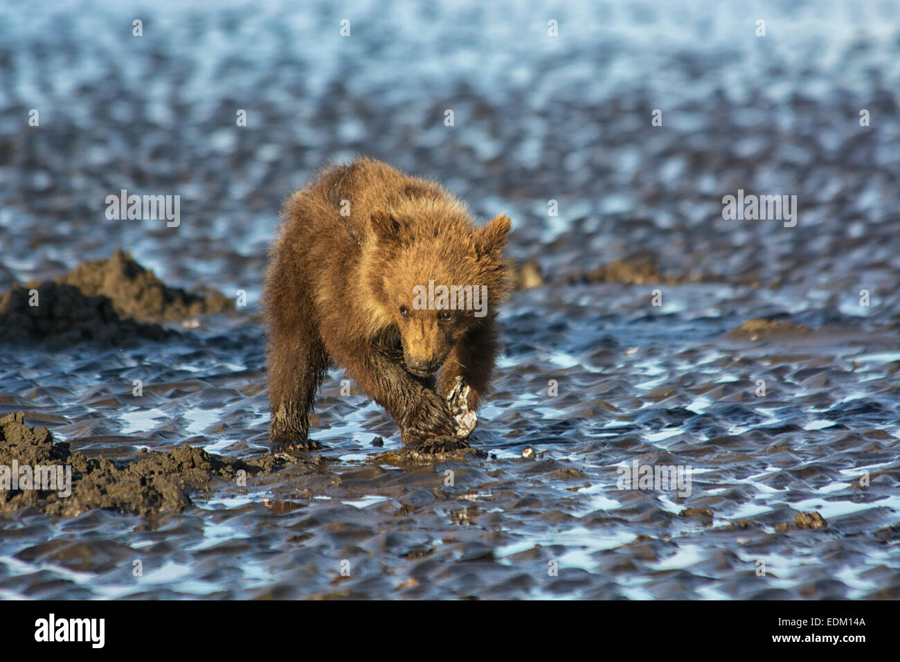 Small Grizzly Bear Spring Cub, Ursus arctos, clamming in the tidal flats of the Cook Inlet, Alaska, USA Stock Photo