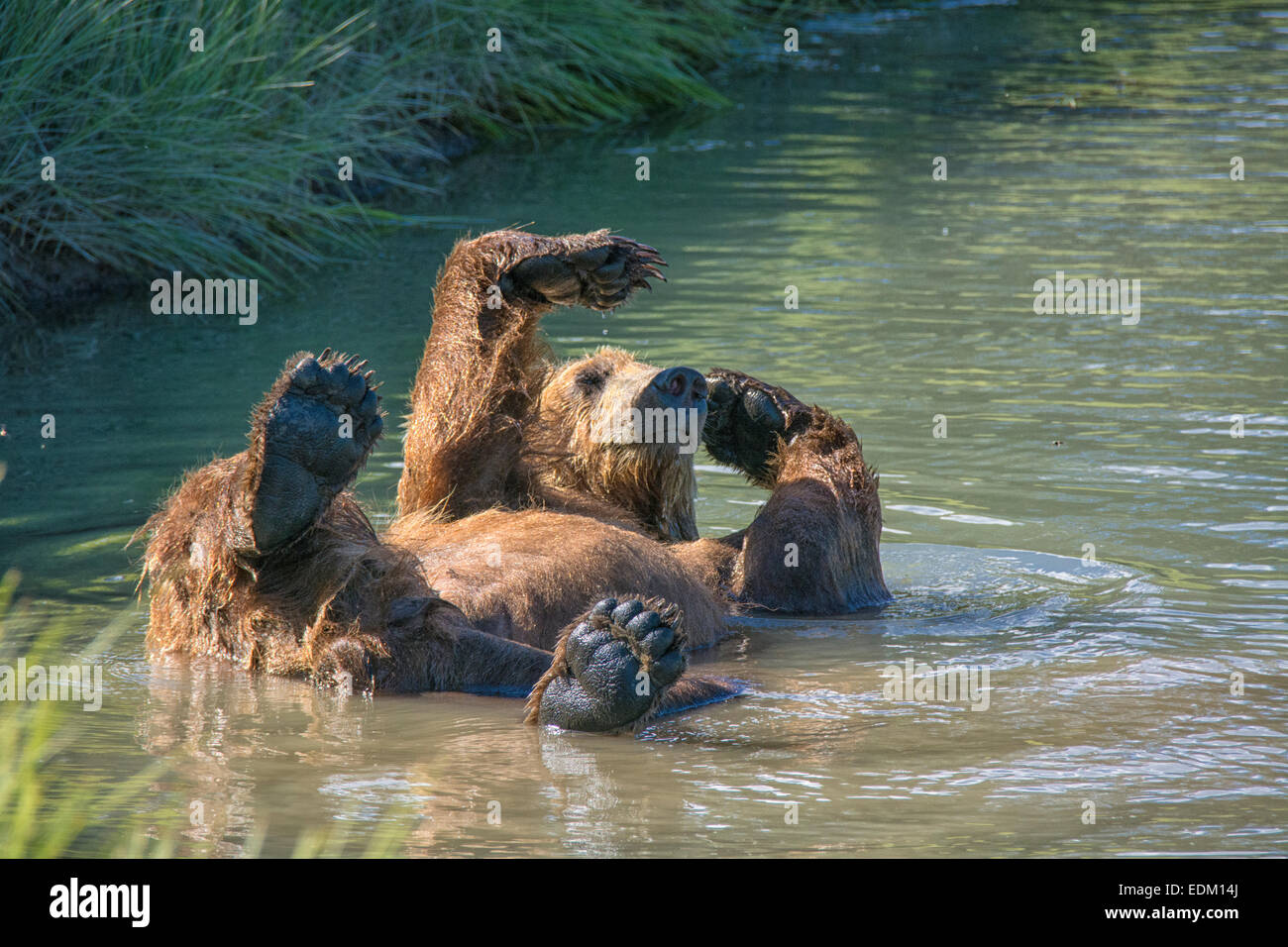 Adult Grizzly Bear, Ursus arctos, cooling off in a stream, Lake Clark National Park, Alaska, USA - Stock Image