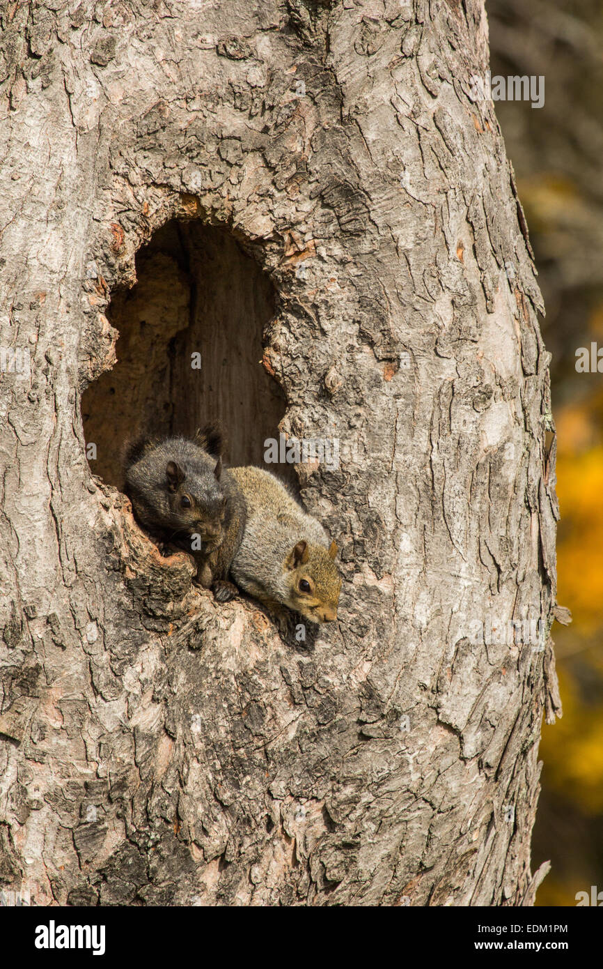 A grey phase and a black phase Eastern grey squirrel in a hollow tree. - Stock Image