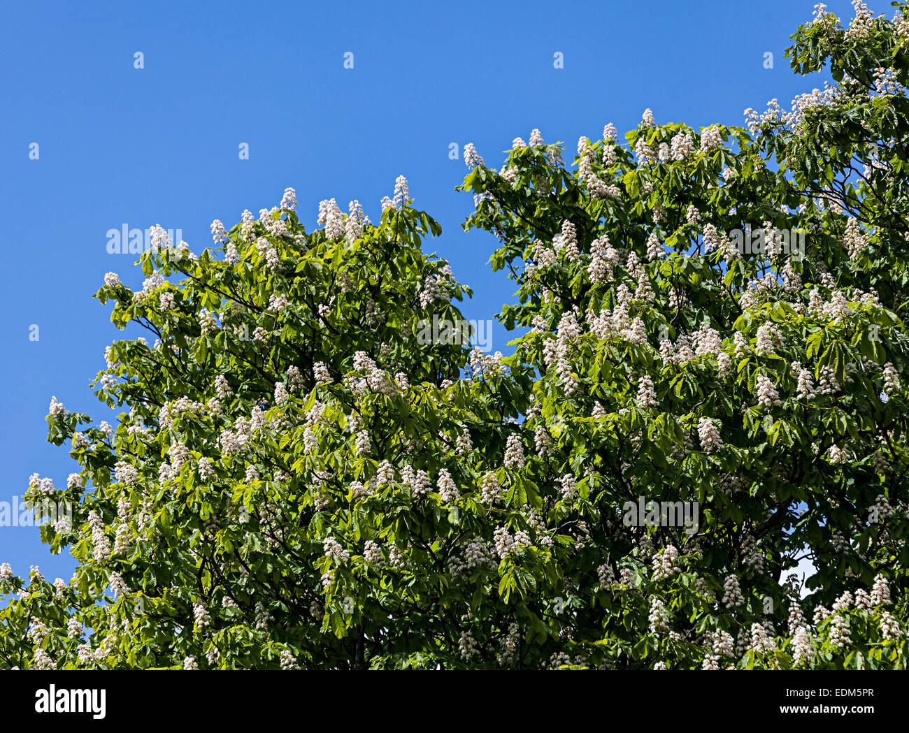 Horse chestnut Aesculus hippocastanum in flower, Abergavenny, Wales, UK - Stock Image