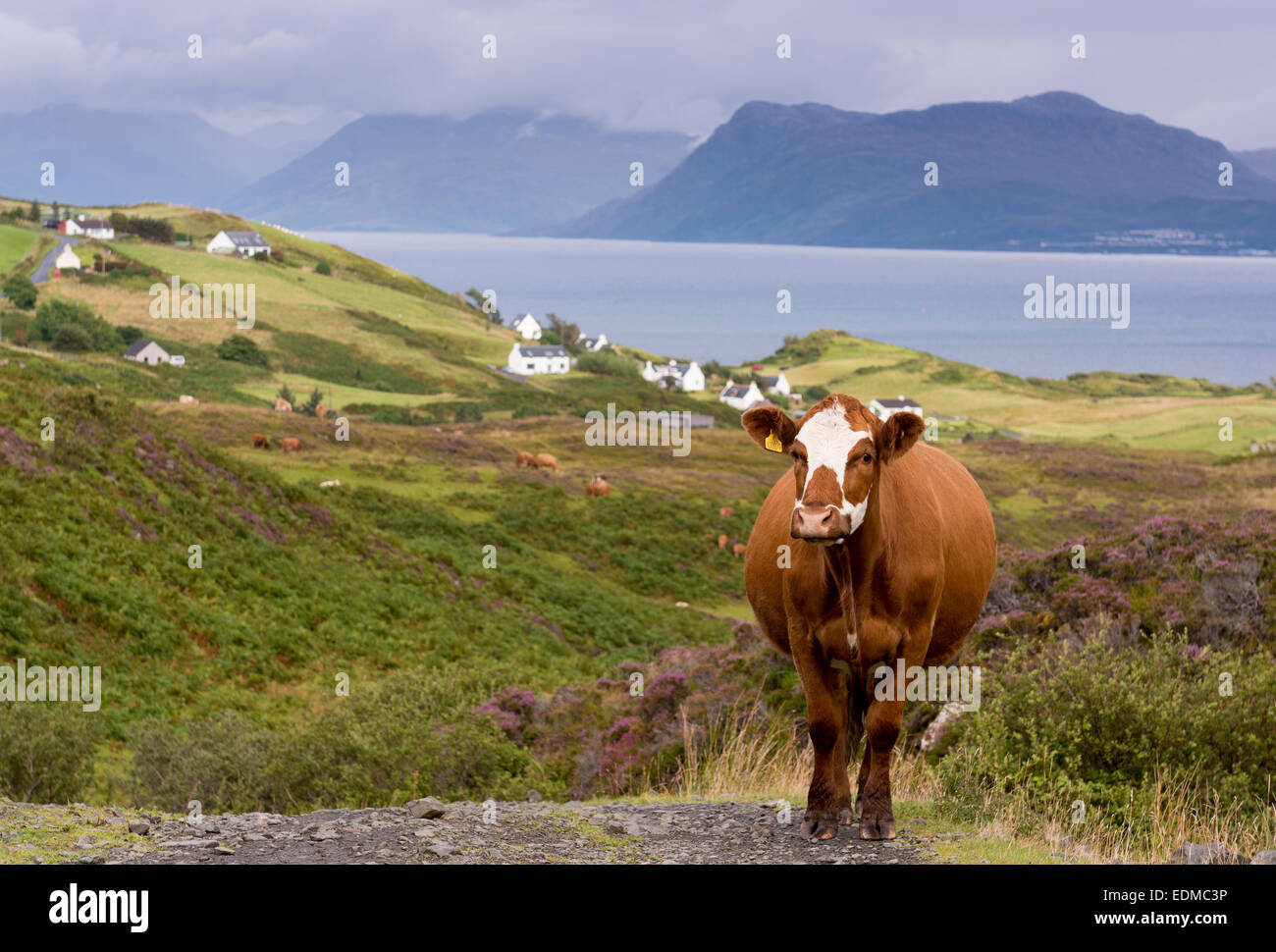 cow at sound of sleat skye - Stock Image