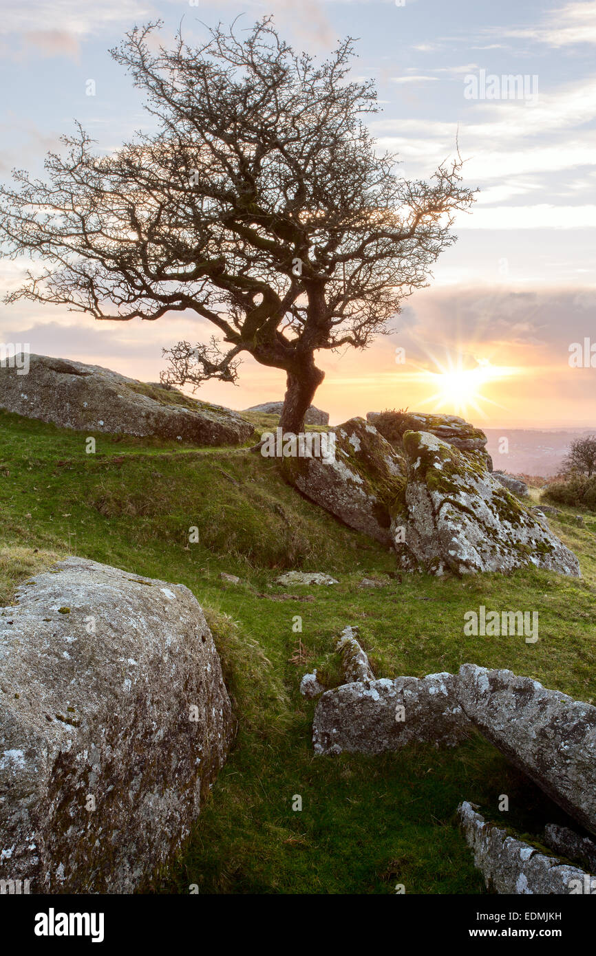 Setting sun behind a lone hawthorn tree near Ingra Tor Dartmoor National Park Devon Uk - Stock Image
