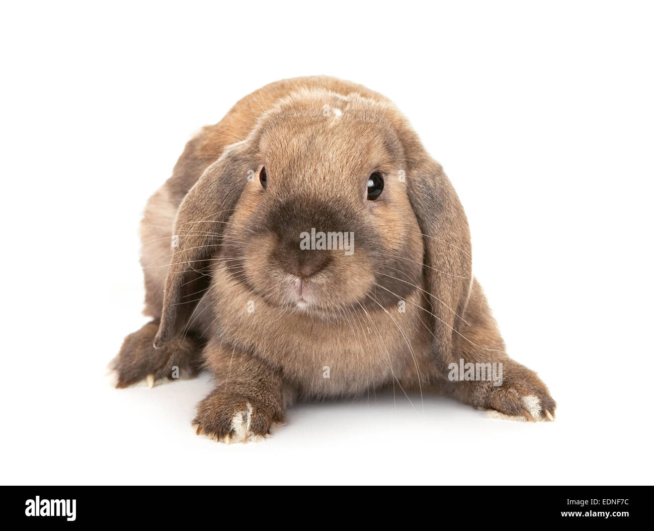 Rabbits are rams. Dwarf Rabbit Ram: breed description 36