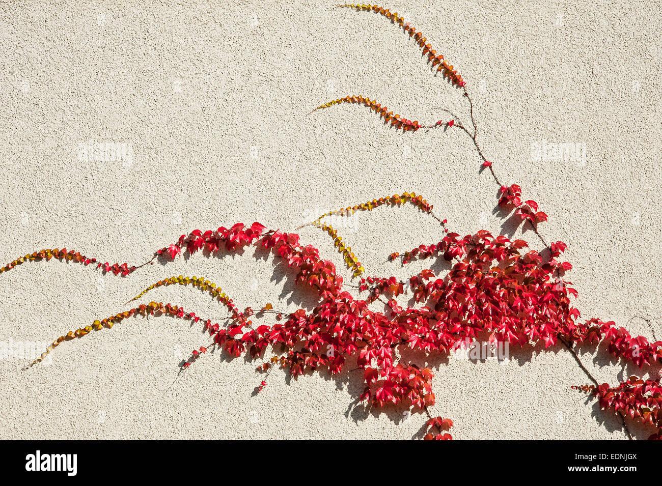 Japanese Creeper, Boston Ivy or Woodbine (Parthenocissus tricuspidata), Bavaria, Germany - Stock Image